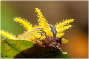 stinging-rose-caterpillar-limacodidae-parasa-intermedia-4699-img_8884