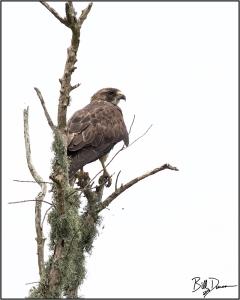 Swainsons Hawk - Accipitridae - Buteo swainsoni.  Anahuac NWR, TX.