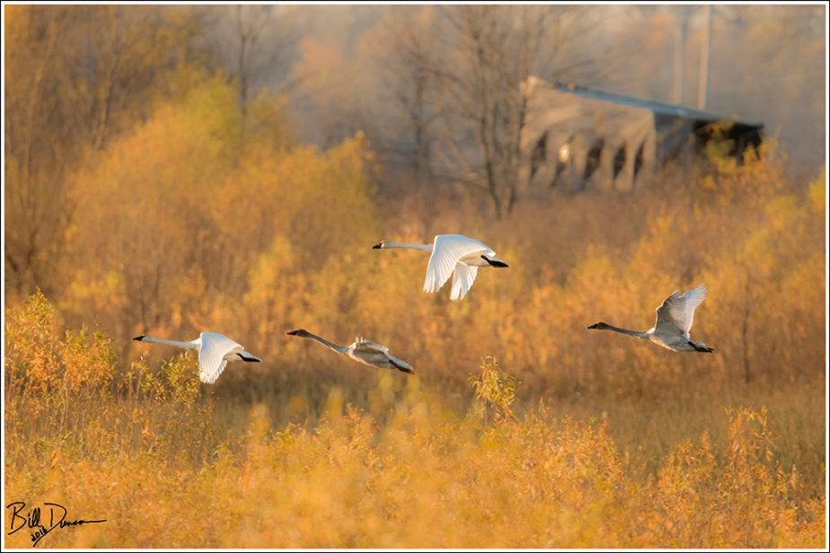 Trumpeter Swans - Riverlands Migratory Bird Sanctuary, St. Charles County, MO
