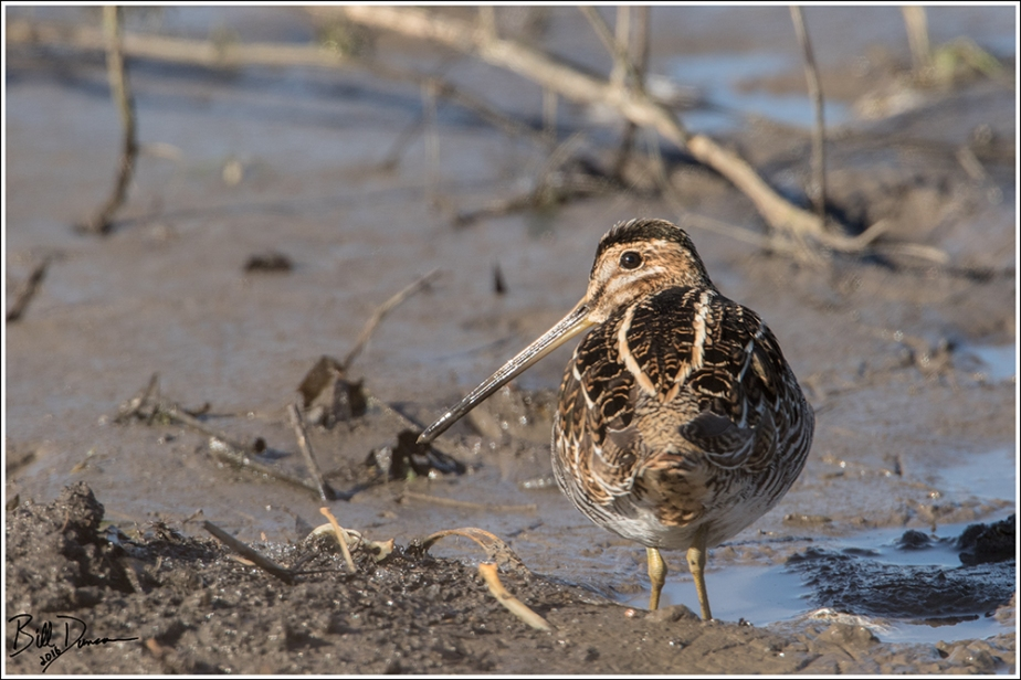 Wilson's Snipe - Scolopacidae - Gallinago delicata - Confluence Road, St. Charles Co, MO.