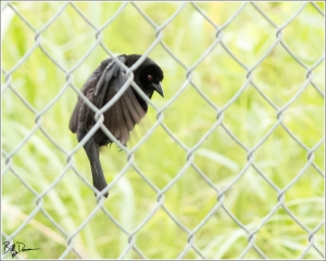 bronzed-cowbird-icteridae-molothrus-aeneus-520a2807