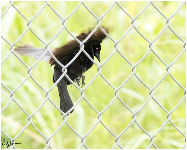 bronzed-cowbird-icteridae-molothrus-aeneus-520a2809
