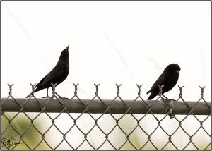 bronzed-cowbird-icteridae-molothrus-aeneus-520a2824