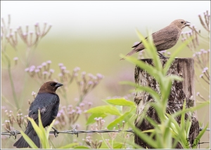 brown-headed-cowbird-icteridae-molothrus-ater-520a2835