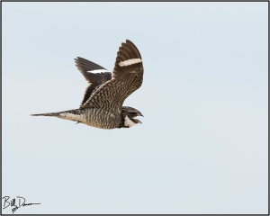 common-nighthawk-caprimulgidae-chordeiles-minor-520a2866