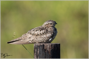 common-nighthawk-caprimulgidae-chordeiles-minor-520a3427