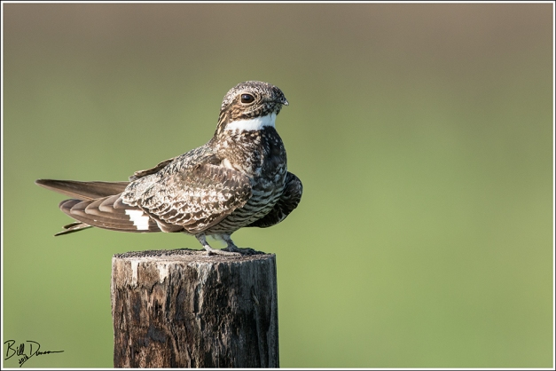 Common Nighthawk - Caprimulgidae - Chordeiles minor - Anahuac NWR, TX.