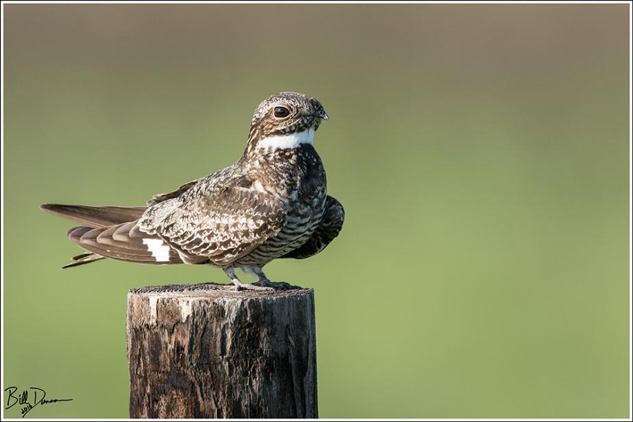 Common Nighthawk - Caprimulgidae - Chordeiles minor - Anahuac NWR, TX.