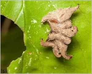 monkey-slug-limacodidae-phobetron-pithecium-4677-img_8896