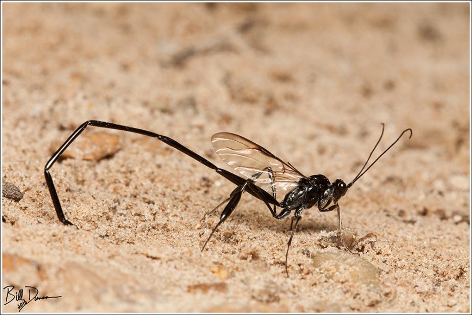 pelecinid-wasp-pelecinidae-pelecinus-polyturator-img_8164
