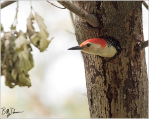 red-bellied-woodpecker-picidae-melanerpes-carolinus-520a1750
