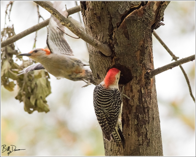 Red-bellied Woodpecker - Picidae - Melanerpes carolinus. Wild Acres Park, Overland MO.