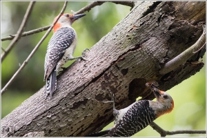red-bellied-woodpecker-picidae-melanerpes-carolinus-520a2618