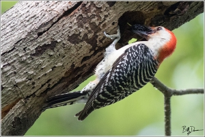 red-bellied-woodpecker-picidae-melanerpes-carolinus-520a2644