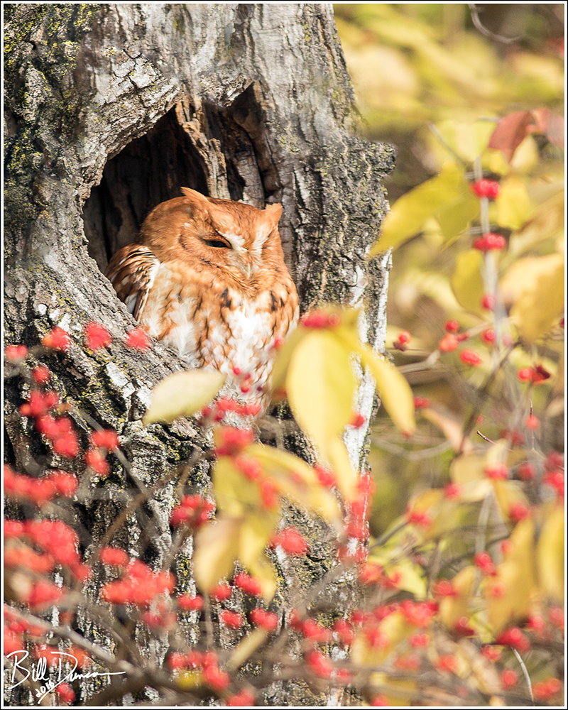 Eastern Screech Owl - Strigidae - Megascops asio, Grafton IL