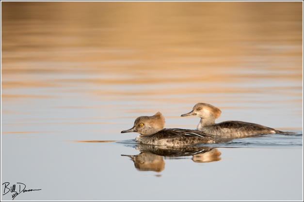 Hooded Mergansers - Riverlands Migratory Bird Sanctuary - St. Charles Co, MO