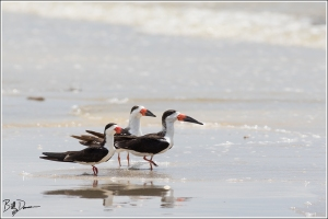 black-skimmer-rynchopidae-rynchops-niger-520a4953