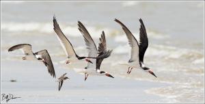 black-skimmer-rynchopidae-rynchops-niger-520a4957