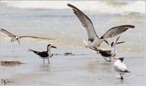 black-skimmer-rynchopidae-rynchops-niger-520a5040