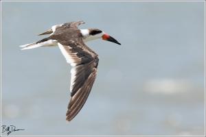 black-skimmer-rynchopidae-rynchops-niger-520a5062