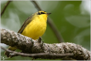 kentucky-warbler-parulidae-oporornis-formosus-6a1a2298