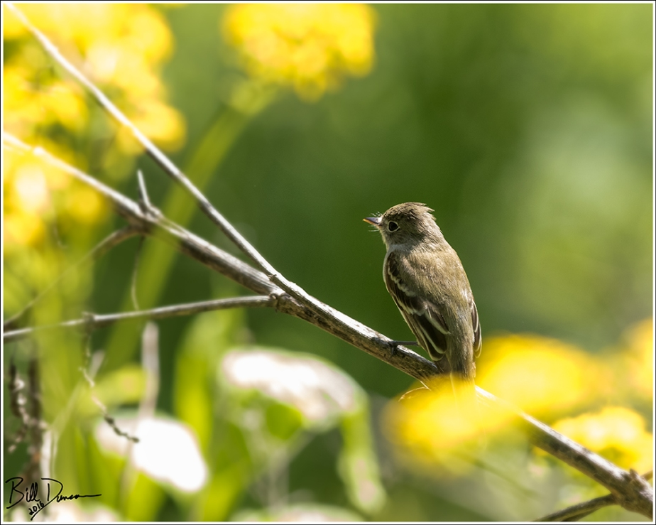 least-flycatcher-tyrannidae-empidonax-minimus-520a1134