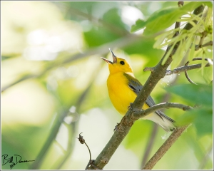 Prothonotary Warbler - Parulidae - Protonotaria citrea