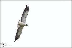 white-tailed-hawk-accipitridae-geranoaetus-albicaudatus-520a6048