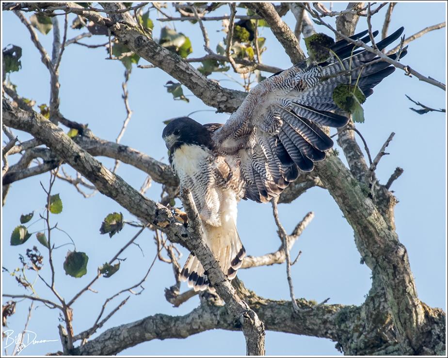 white-tailed-hawk-accipitridae-geranoaetus-albicaudatus-520a7996