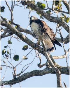 white-tailed-hawk-accipitridae-geranoaetus-albicaudatus-520a8003