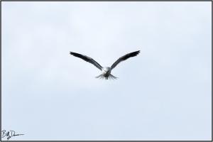 white-tailed-kite-accipitridae-elanus-leucurus-520a6216