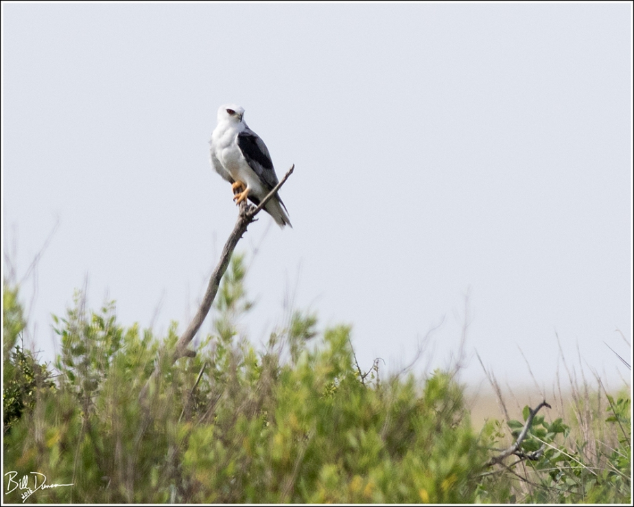 White-tailed Kite - Accipitridae - Elanus leucurus - Surfside Beach, Texas