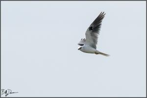 white-tailed-kite-accipitridae-elanus-leucurus-520a6303