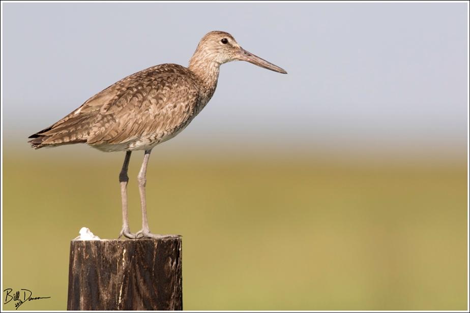willet-scolopacidae-tringa-semipalmata-520a3343
