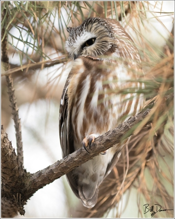 Saw-whet Owl, Moorehead Pioneer Park, Ida County, IA