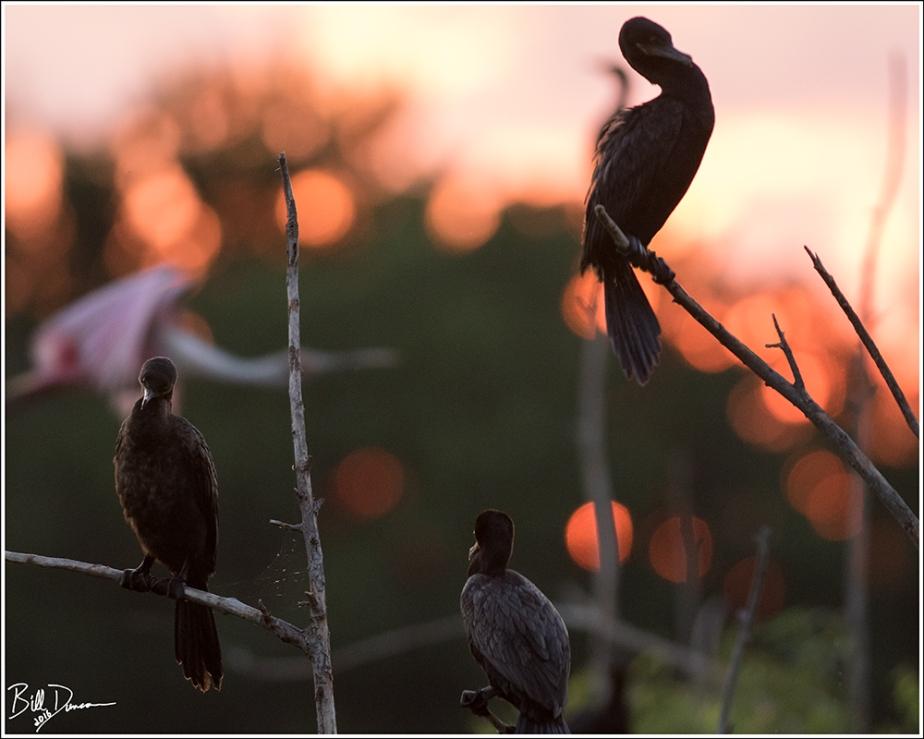 Cormorants and Spoonbill - High Island TX - Rookery
