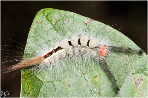 white-marked-tussock-moth-lymantriidae-orgyia-leucostigma-8316-img_8532