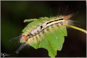 white-marked-tussock-moth-lymantriidae-orgyia-leucostigma-8316-img_8990