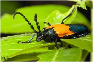Elderberry Borer - Cerambycidae - Desmocerus palliatus