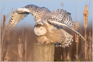 Snowy Owl, BK Leach CA, MO