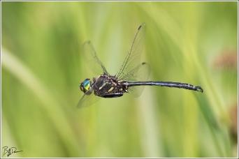 Hine's Emerald Dragonfly - Distinguishing characteristics