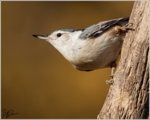 White-breasted Nuthatch, St. Louis County, MO