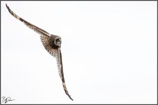 Short-eared Owl, BK Leach CA, MO
