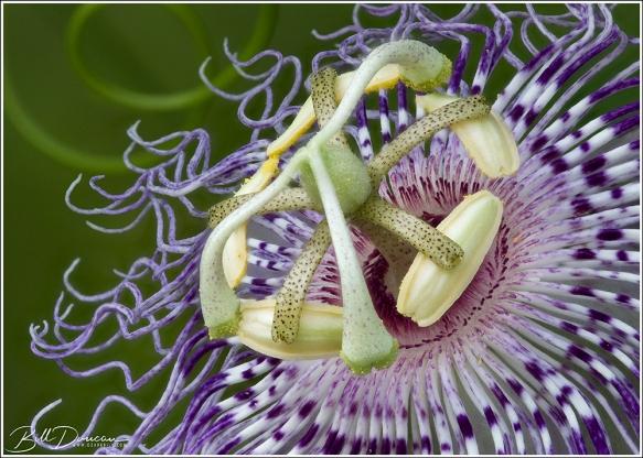 Passiflora incarnata (passionflower, maypops) Image composed of a focus stack of 27 exposures.