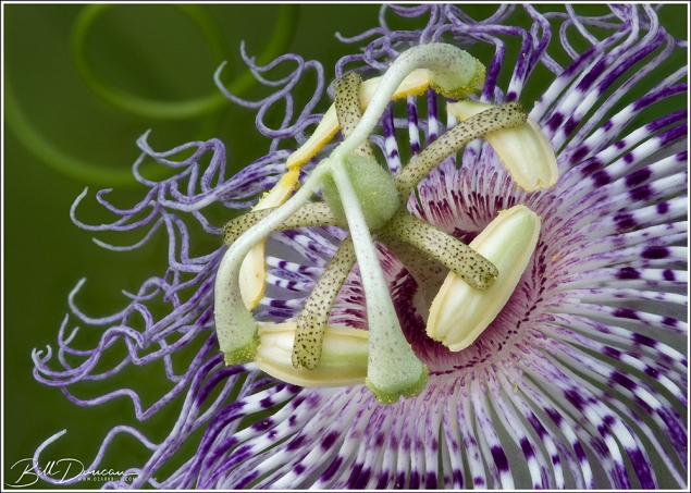 Passiflora incarnata (passionflower, maypops) Image composed of a focus stack of 27 exposures.