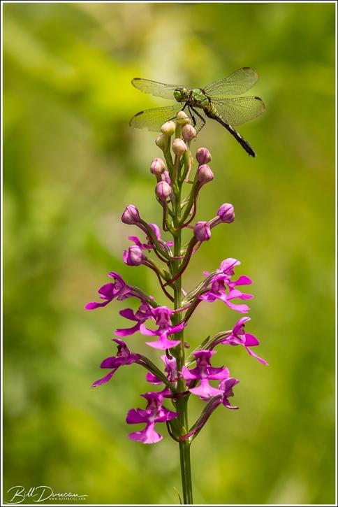 Purple Fringless Orchid