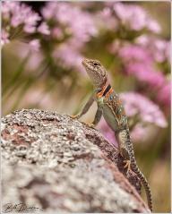 Eastern Collared Lizard - female
