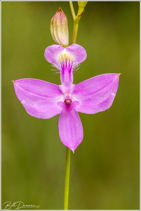 Grass Pink Orchid (Calopogon tuberosus)
