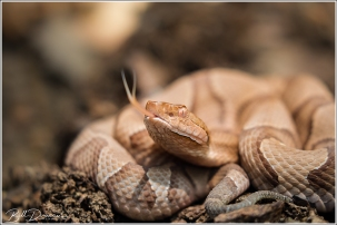 Copperhead, St. Francois Mountains, MO. 520 mm focal length equivalent, f/5.6, 1/400 sec., ISO - 1000