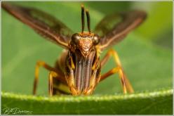 Wasp Mantidfly Climaciella brunnea, St. Louis Co, MO
